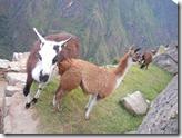 Machu Picchu!!! Llama or alpaca? 28 06 2011