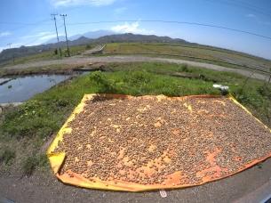 'Candlenuts' drying along the roadside.