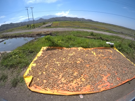 'Candlenuts' drying along the roadside.