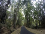 A road running through the middle of a forest of tall bamboo trees