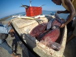 Tuna fish in ice boxes being loaded on to a van