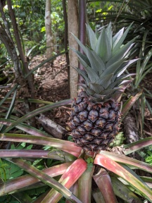 A pineapple plant.