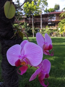 A purple orchid growing on the side of a tree with grass behind it.