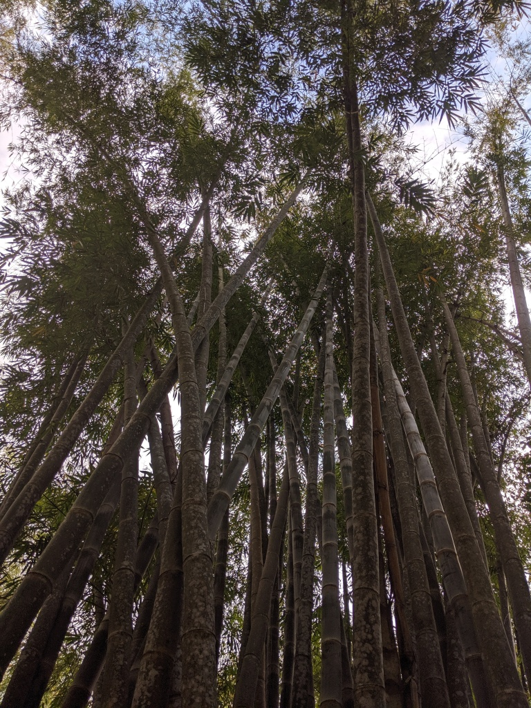 Looking up at bamboo trees within a bamboo forest
