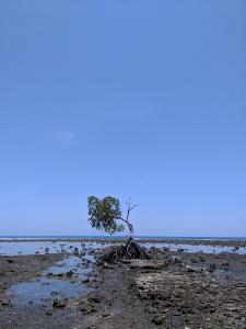 a single tree in the sand where the ocean was before it went out, its huge roots are visible