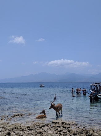 two deer in the shallows of the clear tropical sea around Menjangan Island